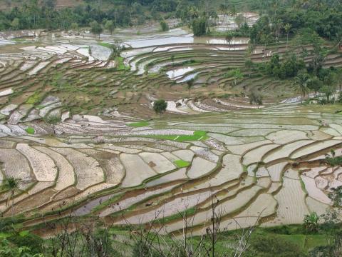 odla ris i sverige